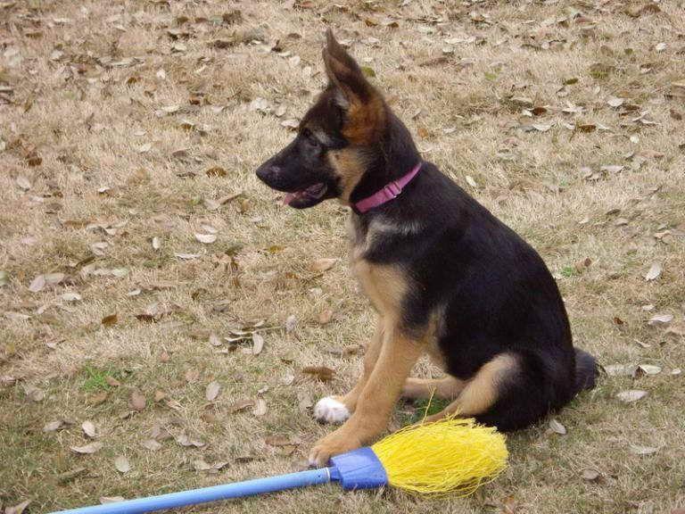 4 Month Old German Shepherd Puppy Behavior