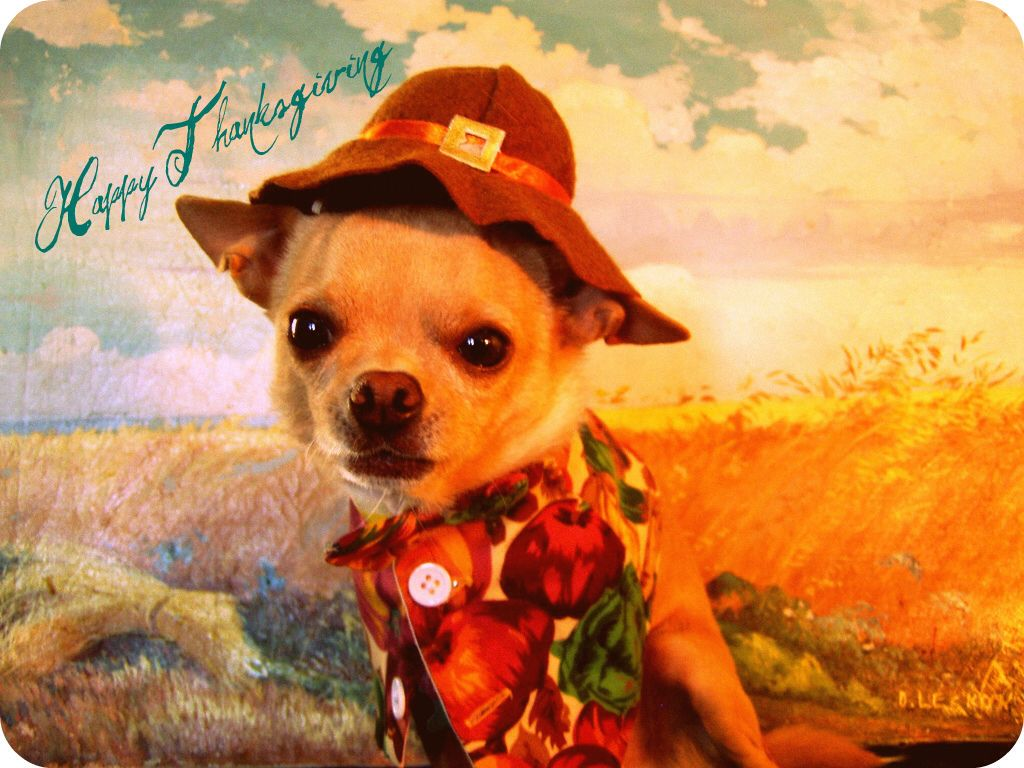 Happy Thanksgiving Chihuahua love, Dog parade, Chihuahua