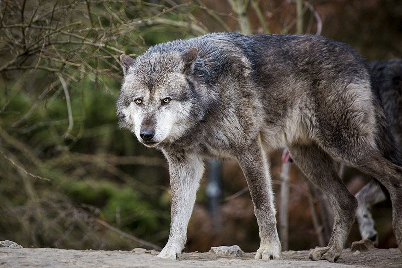 Wolf Mega Wolf Referenceresearch Pinterest Wolf Animals And