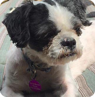 Rockville Md Shih Tzu Meet Kevin Aka Kev A Dog For Adoption
