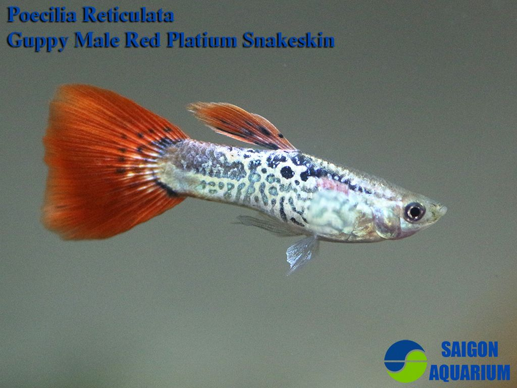 Gallery Of Guppies Freshwater Fish