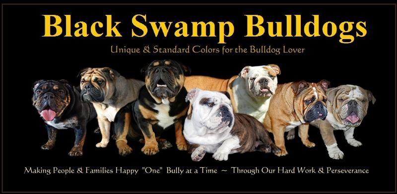 Our Black Swamp Bulldogs Ohio Rare Bulldog Breeder Black Black