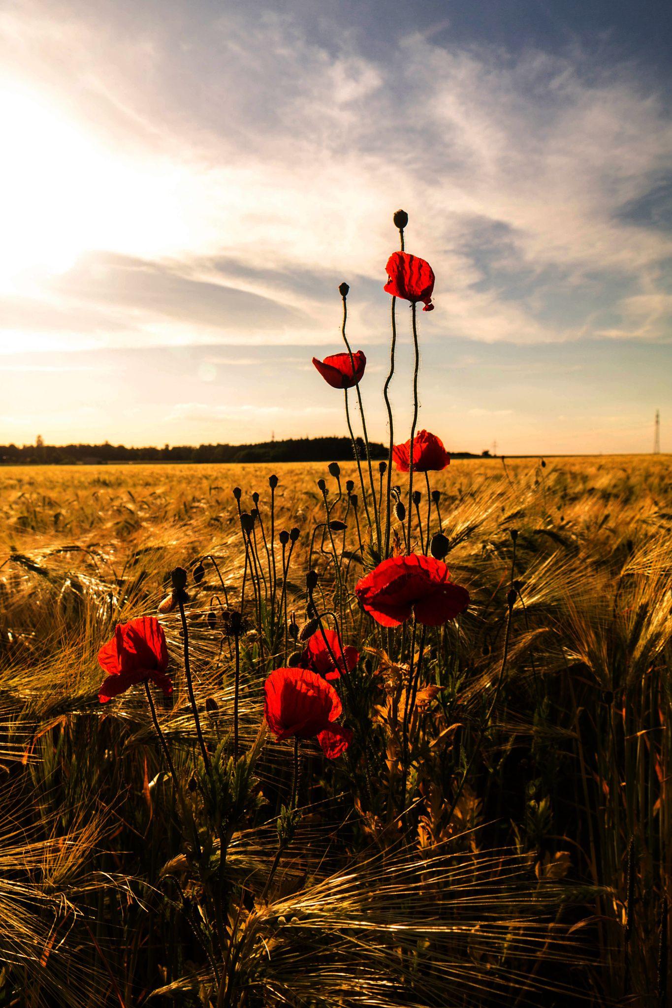 Mohnblumen Im Feld Poppies Nature