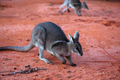 Endangered Species Spotlight: Bridled Nail-tailed Wallaby | Featured Creature