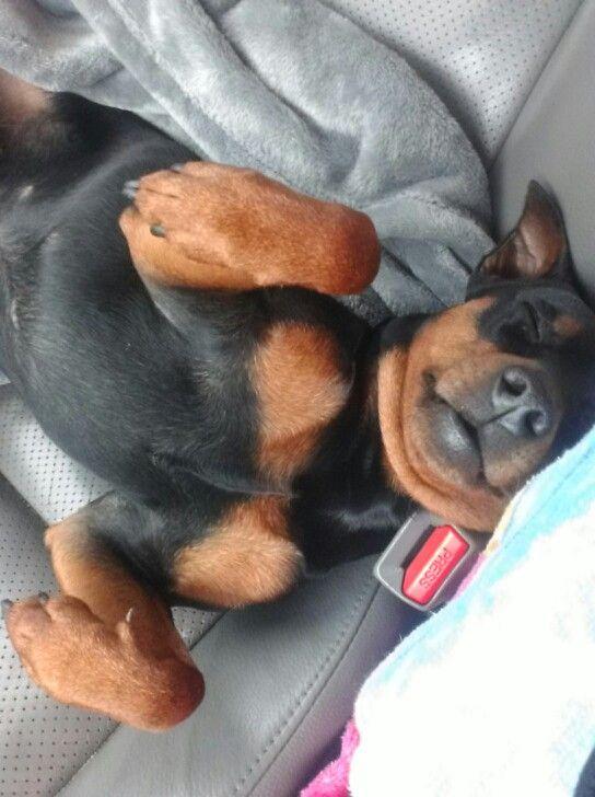 Sleepy Min Pin.
