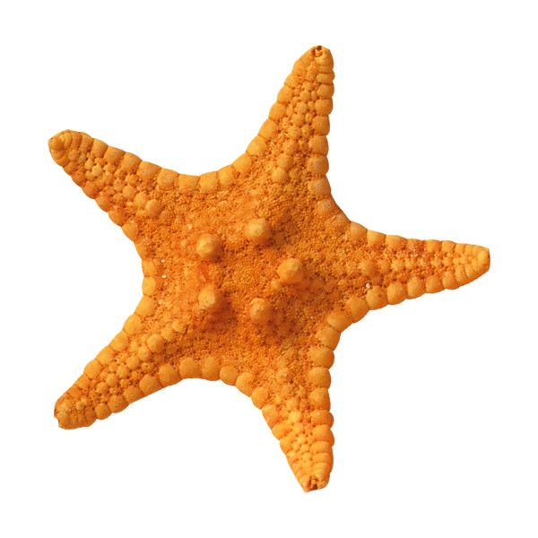 Nld Starfish 2 Png Liked On Polyvore Featuring Fillers Png Shades Of Orange Png Icons