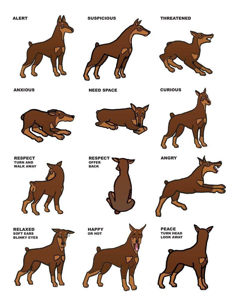 Animalstofallfor Animals Dog Cat Doberman Dogs Doberman Pinscher Dog Doberman Pinscher Puppy