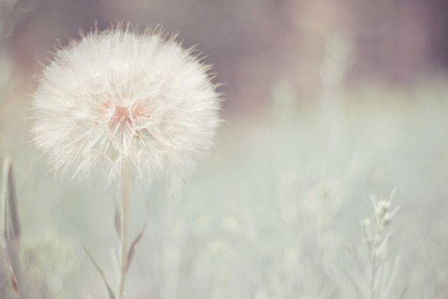 Believe And Blow Dandelion Flowers Dandelion Wish