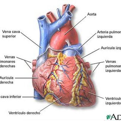 El corazón humano | Ciencia divertida | Pinterest | Anatomía del ...