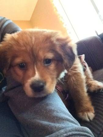 Faith Is A Sweet And Loving Golden Retriever Mix She Is Energetic Cuddly And Loving Good With Kids Still As A Puppy Text Baillee For An Corgi Dogs Animals