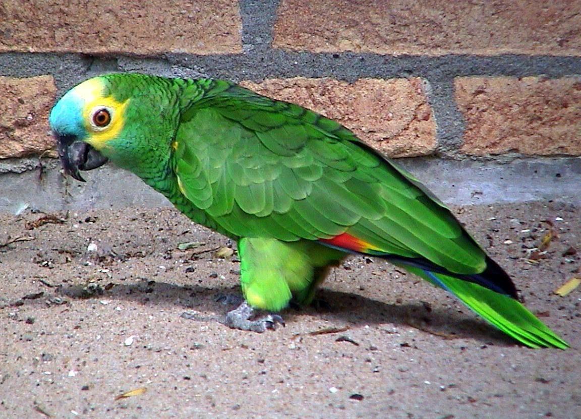 Amazon.com: parrots pets