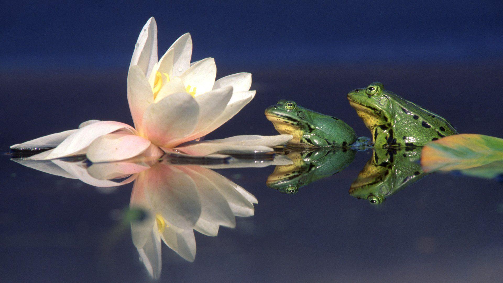 летите жаба на лотосе фото какой породе