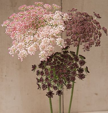 """Attractive 3 1/2-5"""" lacy umbels atop strong, sturdy, upright stems. Flowers in shades of dark purple, pink, or white. Highly productive with 7-15 stems per plant. Long lasting in bouquets. Also known as Queen Anne's lace, ornamental carrot, and wild carrot. Ht. 36-48"""""""