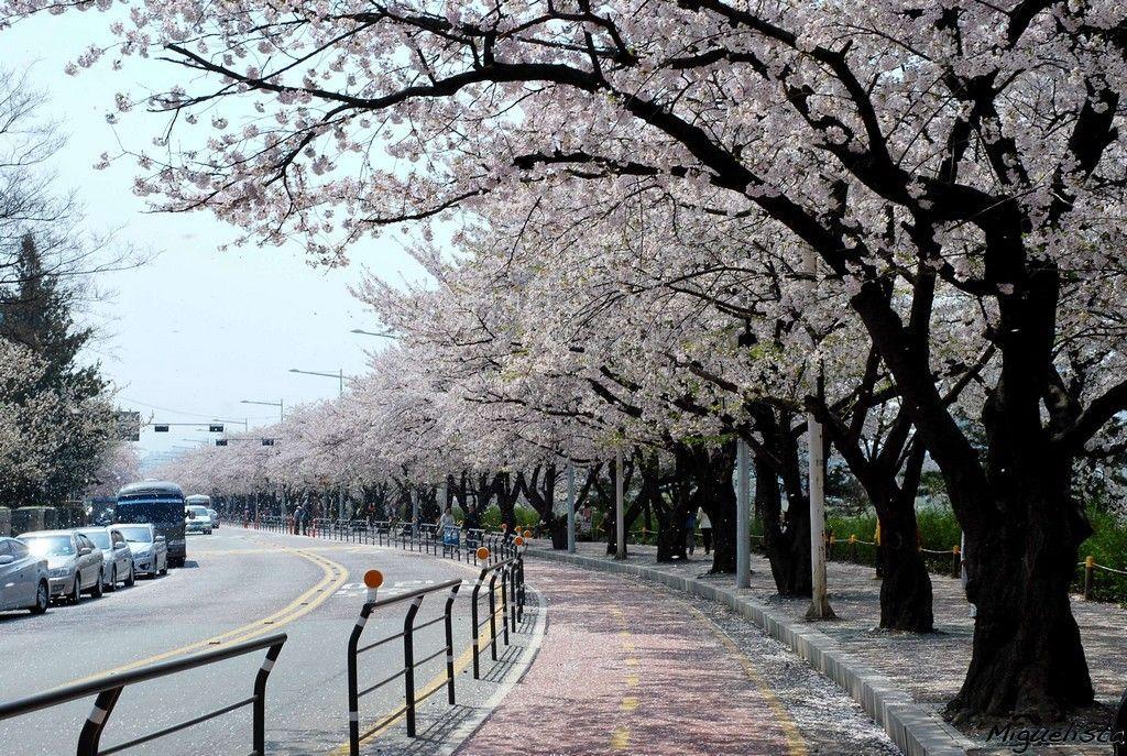 Top 5 Cherry Blossom Festivals In South Korea In 2017 4k Aesthetic Korea Cherry Blossom Scenery