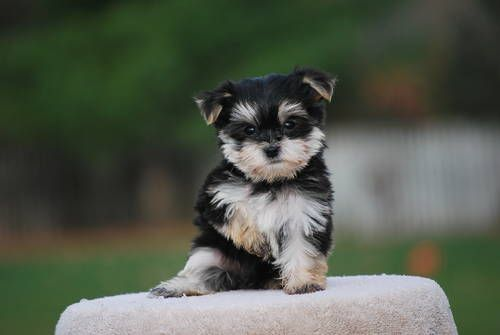 Morkie Puppies I Want This Dog Morkie Puppies Morkie Morkie Dogs