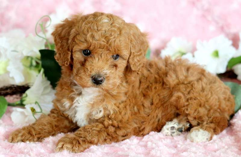 Poodle (Toy) puppy for sale in MOUNT JOY, PA  ADN-71704 on
