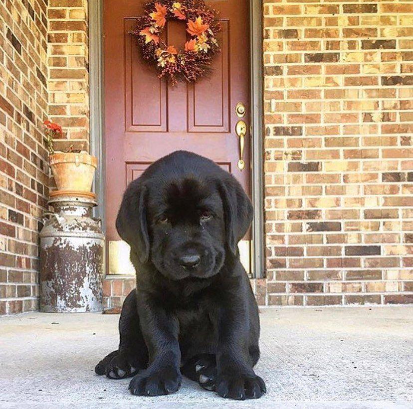 Labrador Retriever Follow Me On Instagram Omg 100k Thank