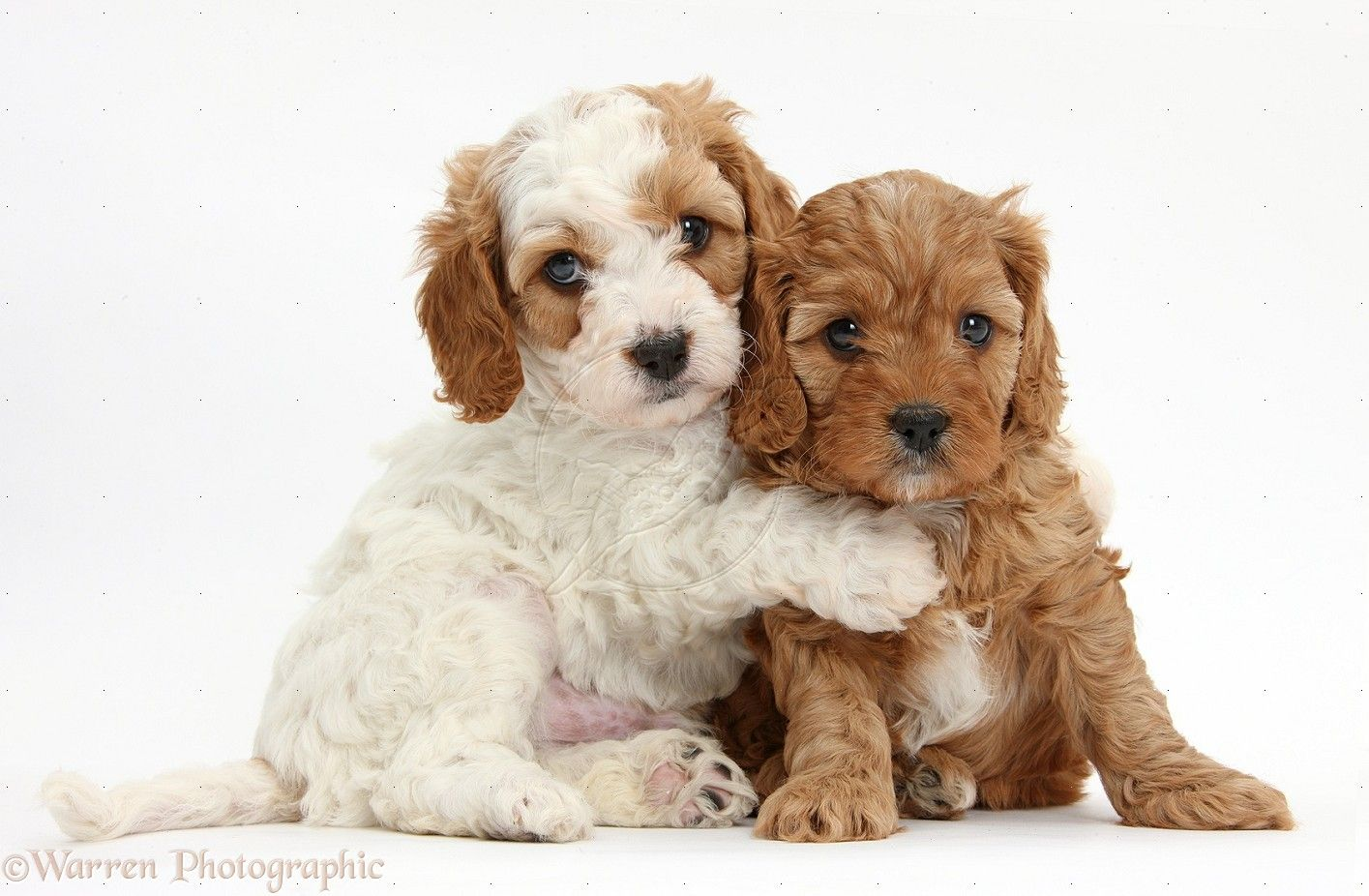 cavapoo puppies | ... Cute red and red-and-white Cavapoo puppies, 5 weeks old, hugging This could tip me over the edge......................