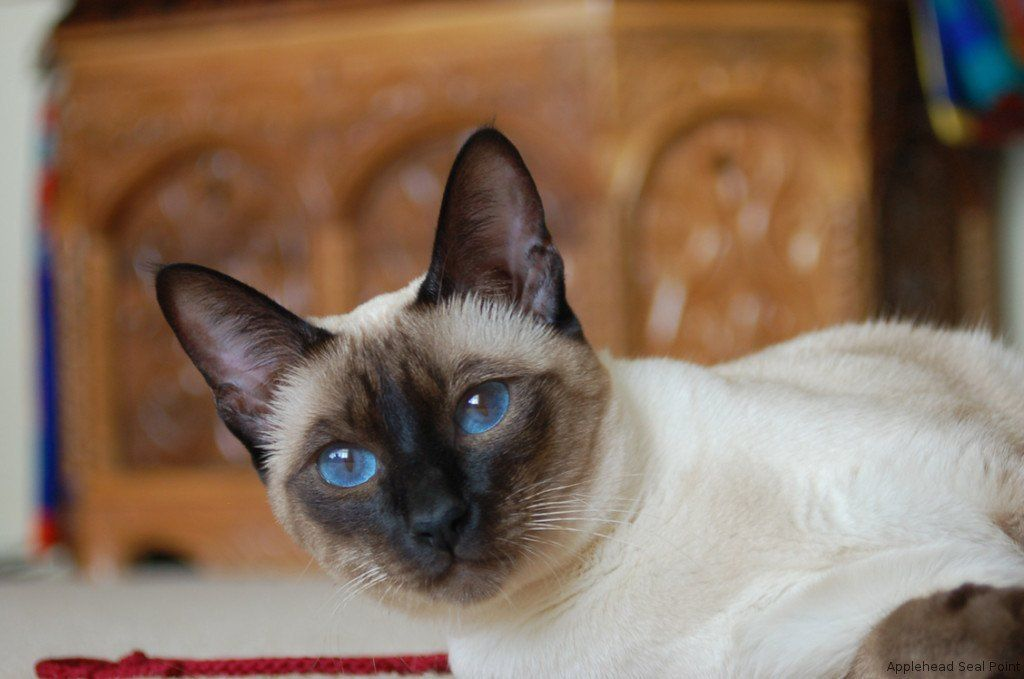 How To Tell The Types Of Siamese Cat Apart Siamese Cats Blue