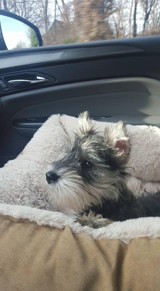 Facebook Beautiful Dogs Mini Schnauzer Puppies Dog Rules