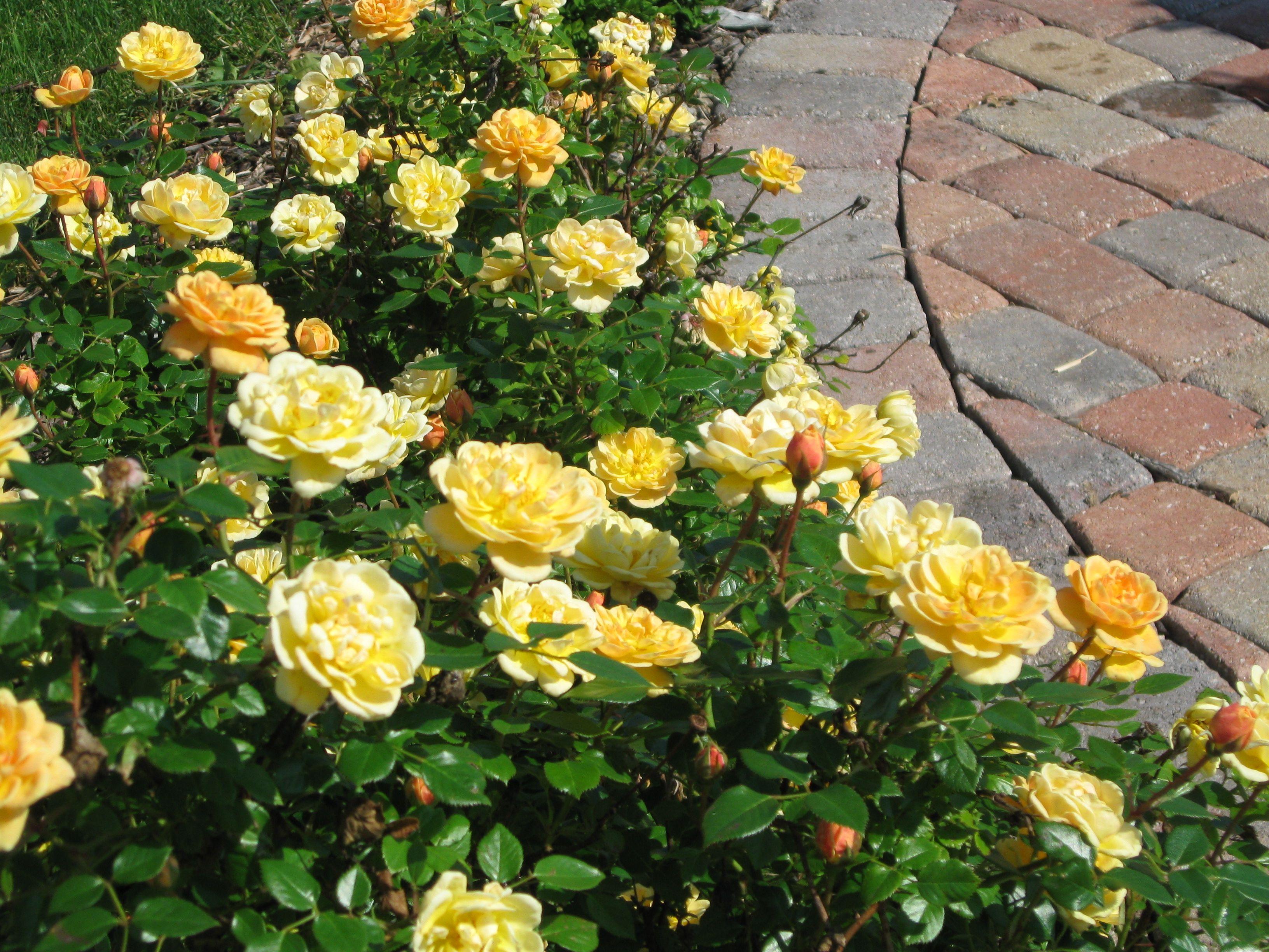 Sunrosa Yellow Shrub Rose Monrovia Sunrosa Yellow Shrub Rose Shrub Roses Yellow Shrubs Dwarf Shrubs