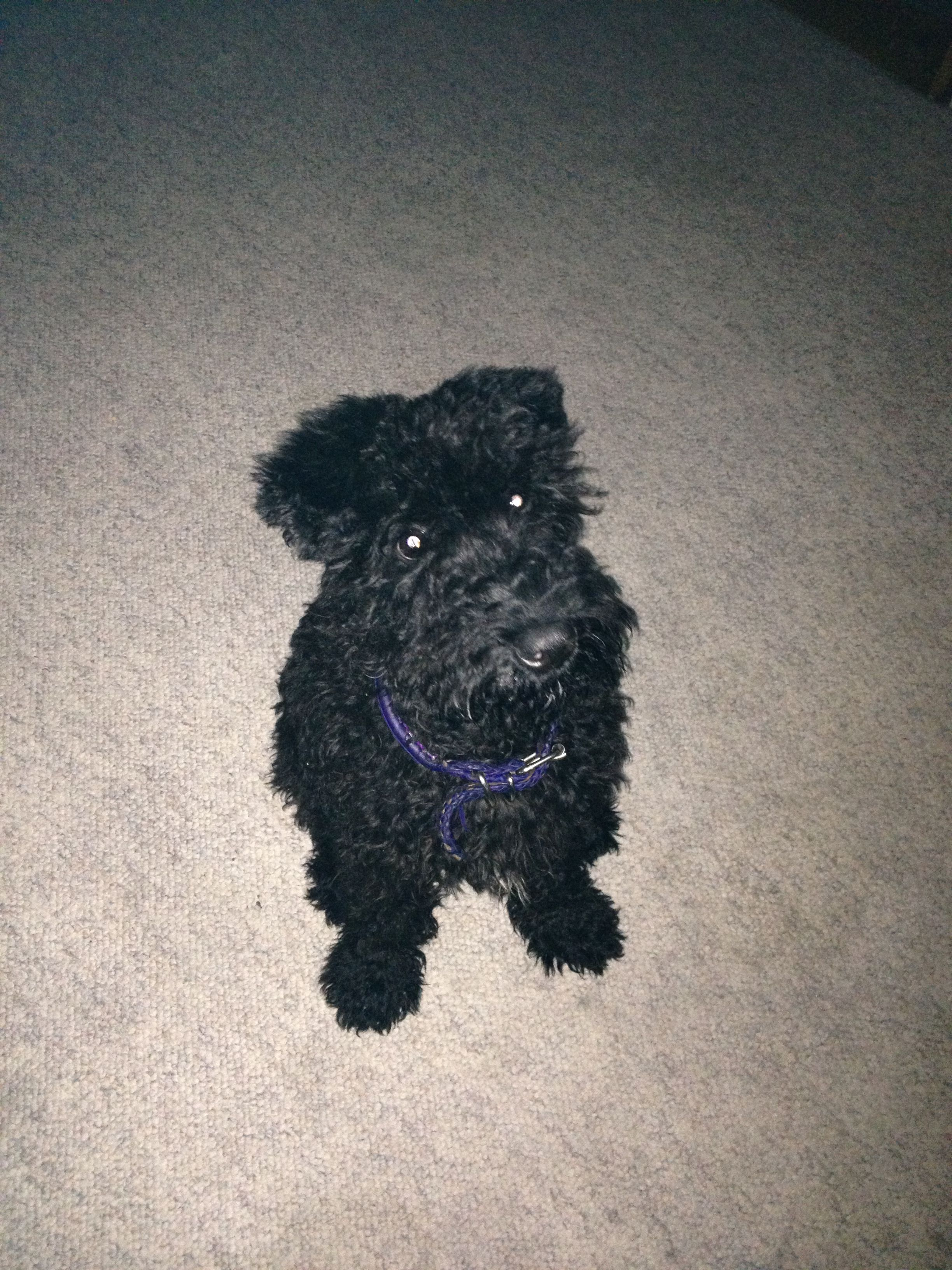 kerry blue terrier puppies for sale nz