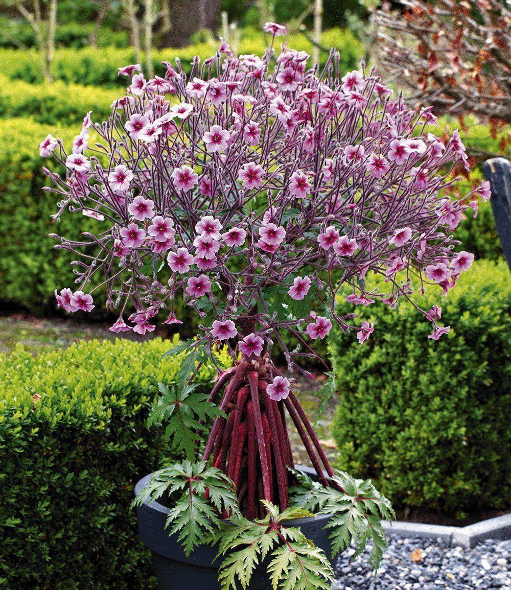 Geranium Baumchen Madeira Pink Geranien Bei Baldur Garten Geranien Kubelpflanzen Winterhart Blattpflanzen