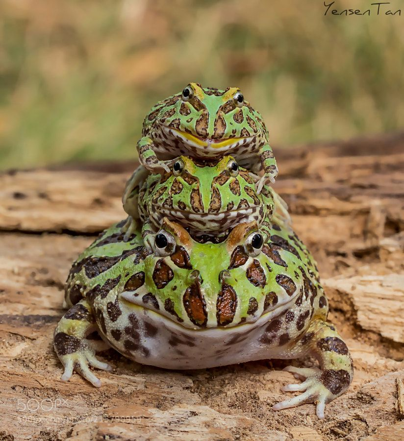 Pin by Jenny P on Rainbow of Animals Frog species, Frog