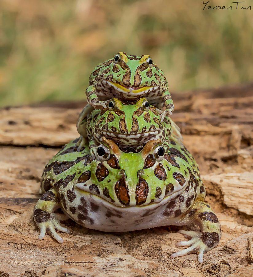 frogs riding crocodile Google Search Рептилии