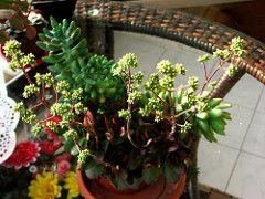 Crassula pubescens radicans