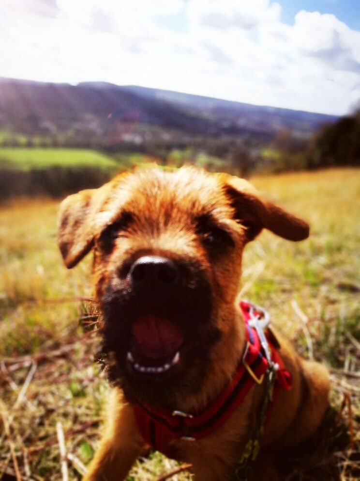 Pin By Lindsay Jobling On Ray The Border Terrier Border Terrier