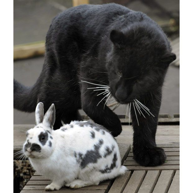 paul black leopard and lisa rabbit | young black Amur leopard named Paulchen plays with rabbit Lisa...