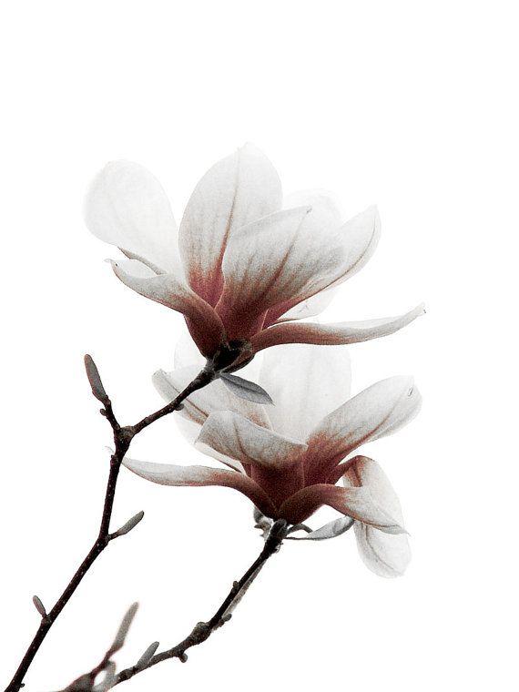 Magnolia Flower Pink White Minimalist Wall Print By