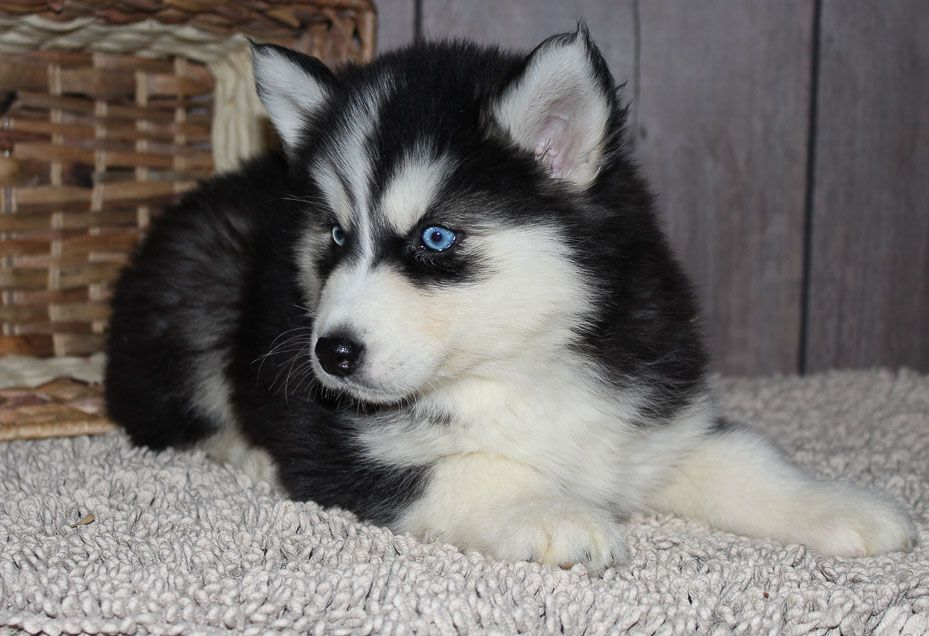 This Is Cookie She Is A Husky Puppy Cute Husky Puppies Siberian Husky Puppies Husky Puppy