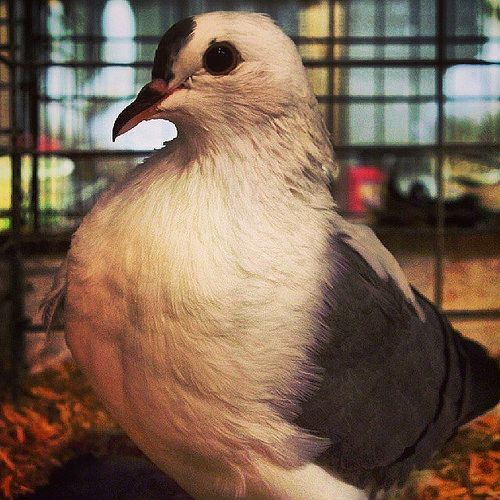 #pidgeon #bird #fowl #poultry #squab #simcoe #Ontario #Canada #simcoefair #norfolkcountyfairandhorseshow #norfolkcountyfair #fair #agriculturalfair #farmingThese are my personal photos from Flickr!