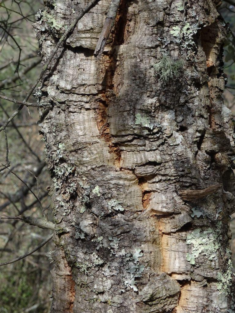 Cork oak. Sobreiro. Quercus suber