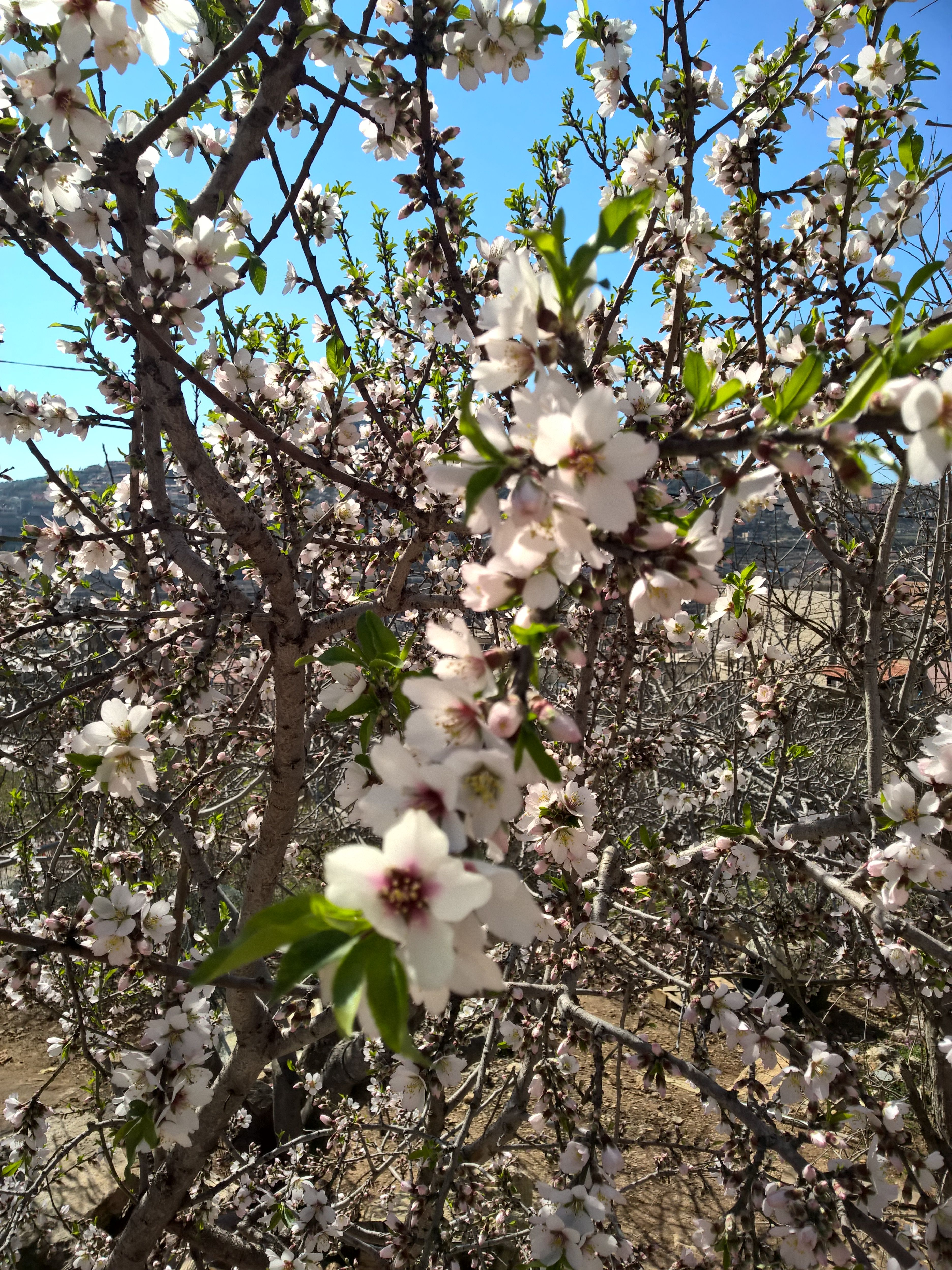 Almond tree blossoms , this year has emerged early because