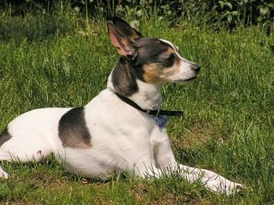 Toy Fox Terrier Dogs Toy Fox Terrier Dog Breed Info Pictures
