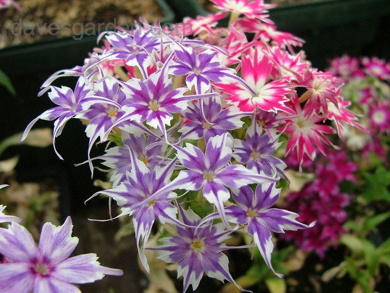 annual phlox drummond 39 s phlox 39 twinkle star mix 39 phlox drummondii flowers pinterest. Black Bedroom Furniture Sets. Home Design Ideas