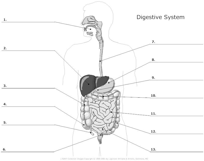 digestive system unlabeled (note you are not responsible for the Skin Label Diagram