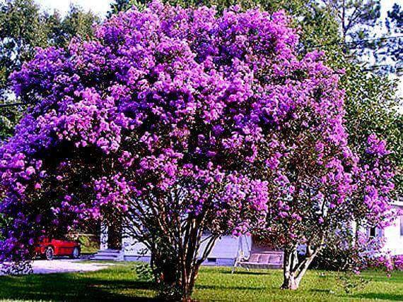 Good lovely crepe myrtle alberi giardino di della for Piccoli giardini ornamentali