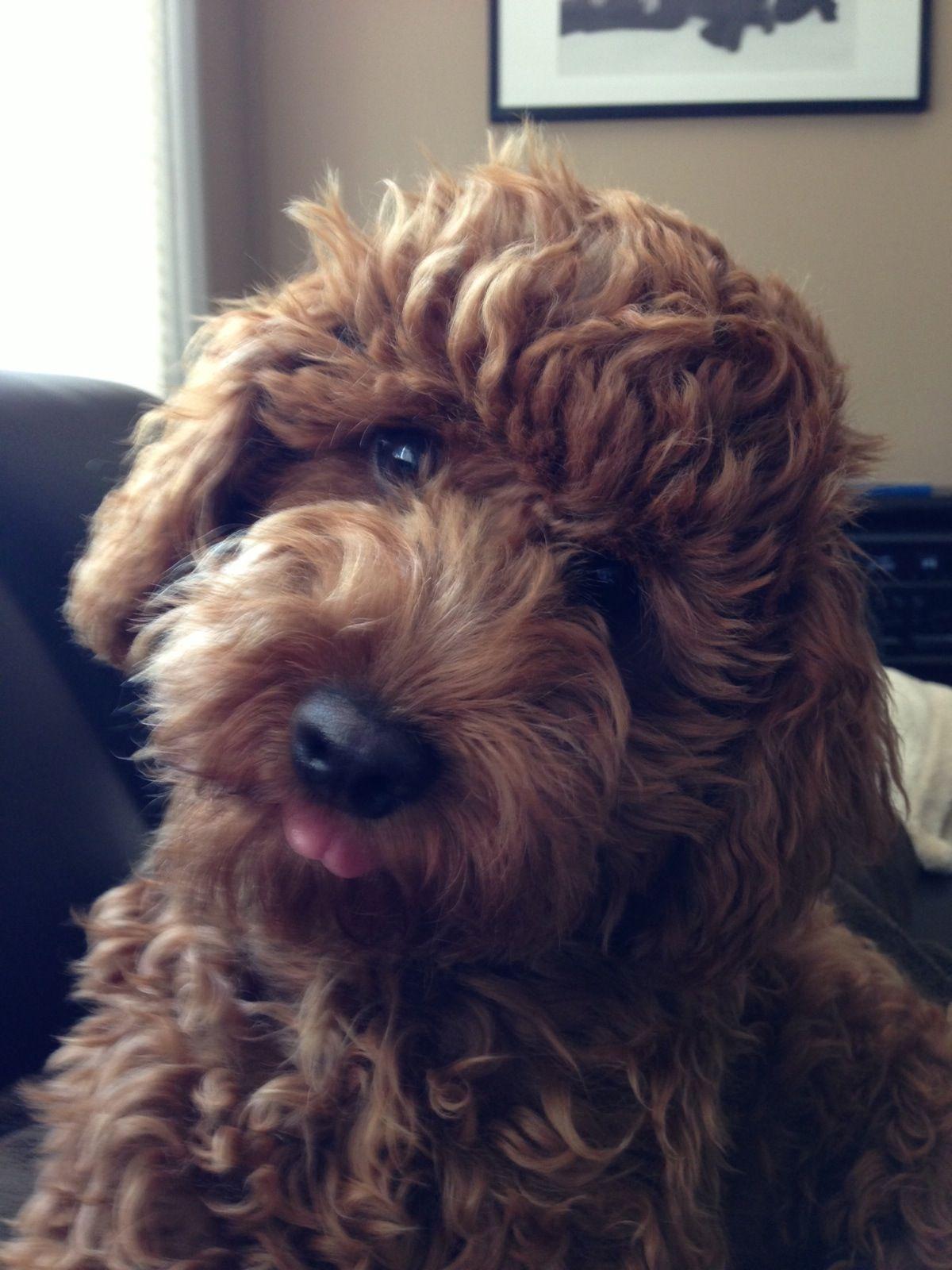 Australian Labradoodle Puppy Labradoodles Pinterest