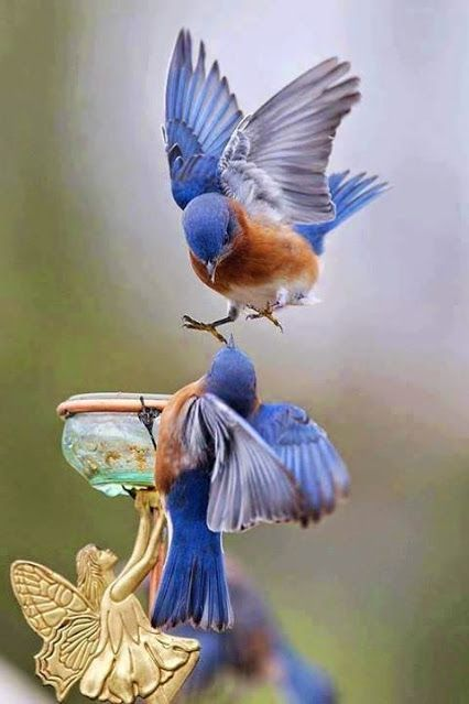 Google+ *beyond gorgeous blue birds trying to get to the meal worms!jn
