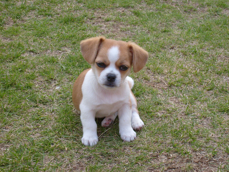 Chihuahua Shih Tzu Puppies Cute Chihuahua Shih Tzu Puppy