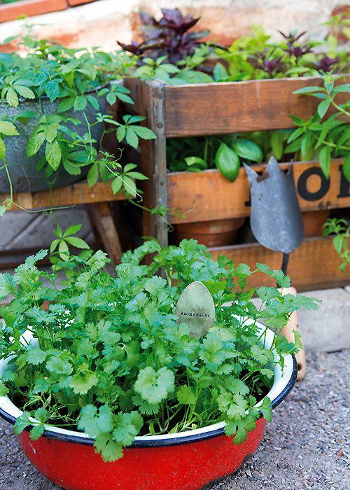 Yrttien suosio on nousussa meillä ja maailmalla. Aromikkaita kasveja on helppo kasvattaa myös itse. Kuvassa etualalla korianteri. http://www.kotipuutarha.fi/puutarhavinkit/kasvata-herkkuja/yrttien-kasvatus.html