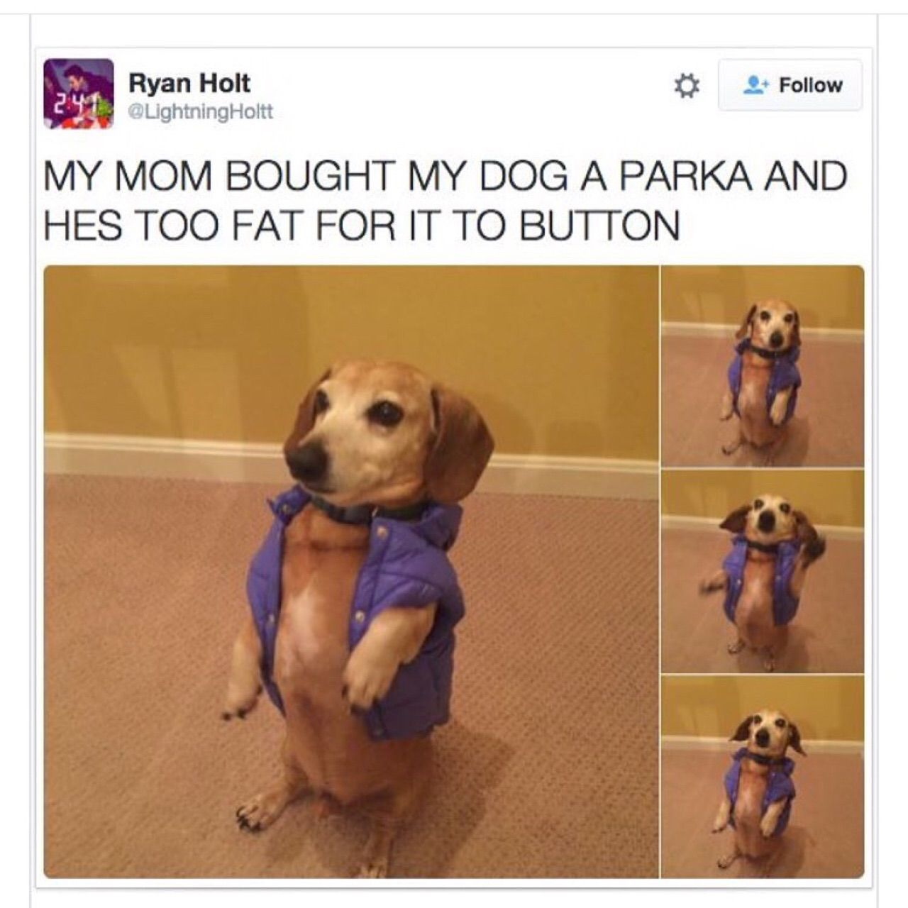 Fat dog in a little coat | Things that make me LOL ...