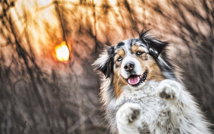 Download Wallpapers Australian Shepherd Sunset Cute Animals Bokeh Aussie Small Aussie Pets Dogs Australian Shepherd Dog Aussie Dog Besthqwallpapers Com Aussie Dogs Australian Shepherd Aussie Shepherd
