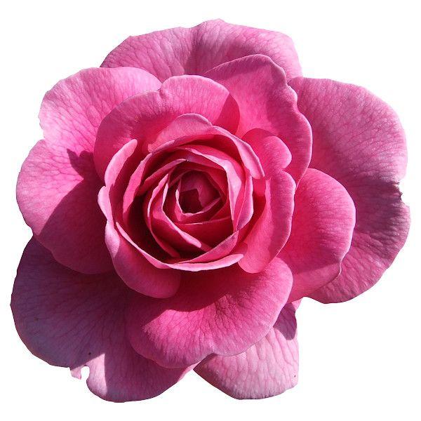 Yandeks Fotki Cartoon Flowers Pink Rose Png Flowers