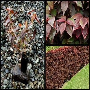 Acalypha Goseffiana Inferno Plants Outdoor Decor Border Plants