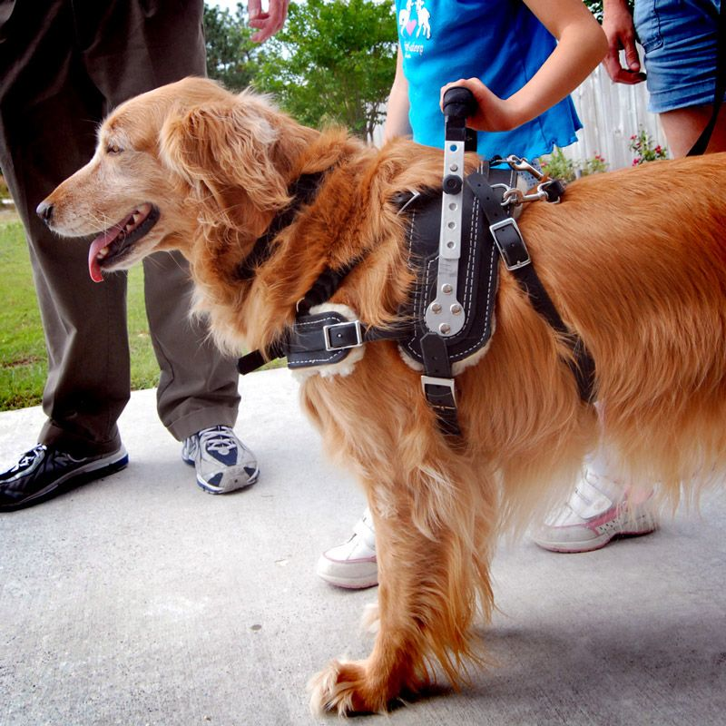 Mobility Support Harness Service Dogs Service Dog Training Dog